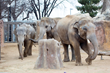 Denver Zoo's Three Male, Asian Elephants Share Time In Same Yards