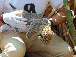 A representative from Wildlife SOS moves one of the two leopard cubs into a safe box, in hopes the mother leopard will show up to claim them.
