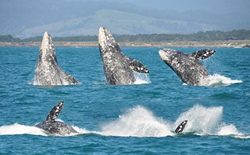 Whales in Fort Bragg
