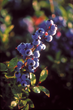 New Wild Blueberry Study Indicates Potential Mood-Boosting Effect in Young Adults and Children