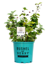 Star Roses and Plants Launches Bushel and Berry Collection
