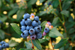 Perpetua will give you two crops of delicious and sweet blueberries!