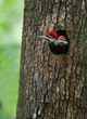 Pileated Chicks in South Carolina