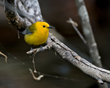 Prothonotary Warbler in Summerville, South Carolina.
