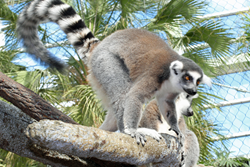 Ring-tailed lemur at the Tennessee Aquarium