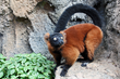 Red-ruffed lemur at the Tennessee Aquarium