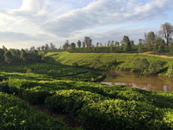Coffee and tea growing in Kenya