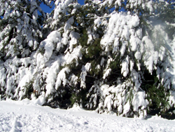 Heavy snowfall will weigh down a tree's branches, increasing the chance of these branches breaking off and falling.