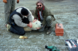 Mahoney helps relocate an errant polar bear in Bay Bulls, Newfoundland in 1990