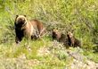 Wildlife Expeditions of Teton Science Schools Spring Yellowstone Wolves & Bears Expeditions Begin April 27, 2017