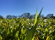 New National Research Initiative Aims to Improve Cover Crops