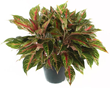 Grow Red Aglaonema practically anywhere – it thrives in both low light and bright.