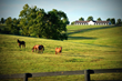 Thoroughbreds graze in a pasture at Taylor Made Farm where events can now be held.