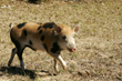 Texas Rancher Declares War Against Use of Warfarin Poison on Hogs