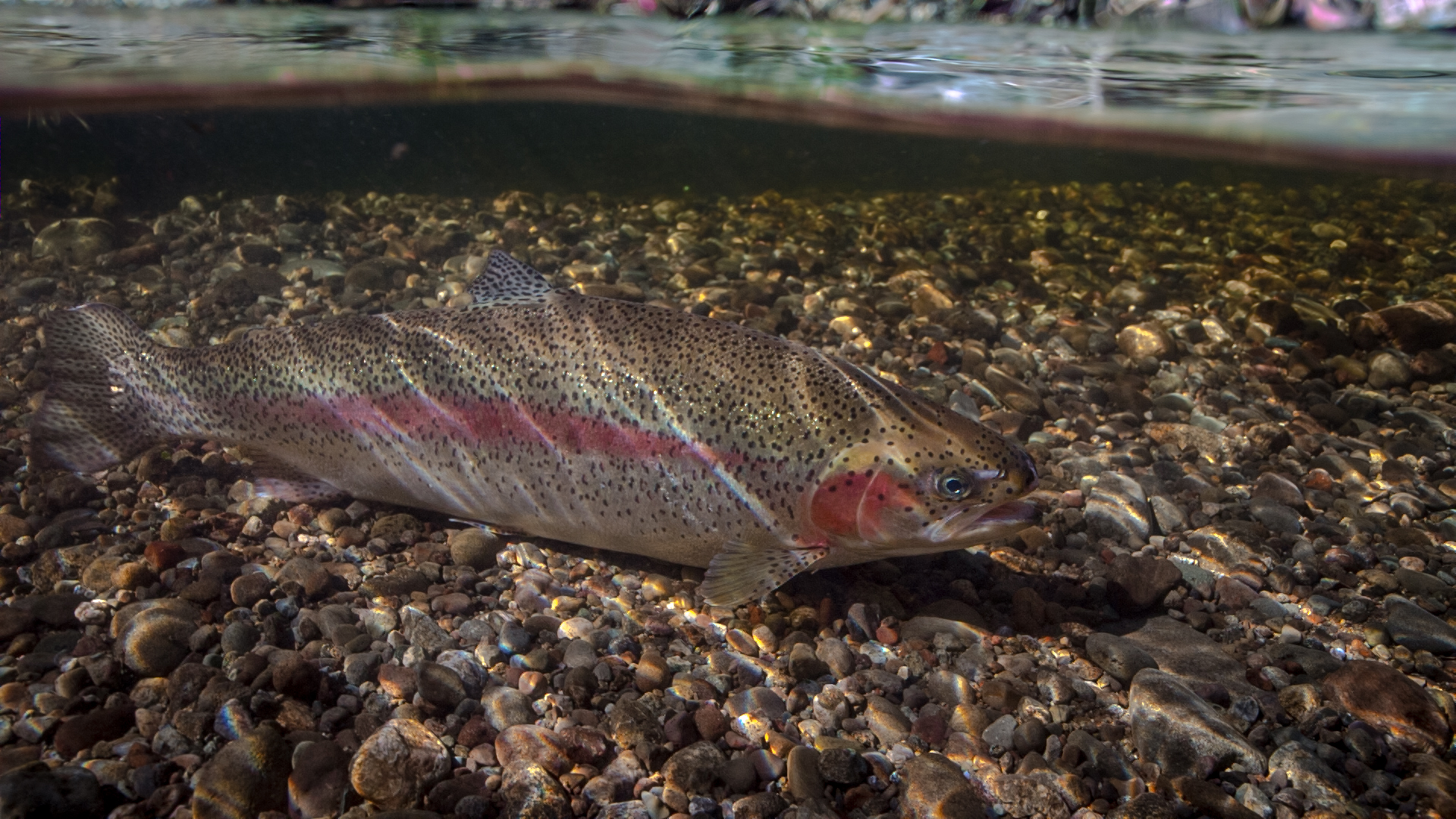New interactive game aims to educate public about the for Washington state fish