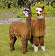 Denver Chosen as Host of 2019 National Alpaca Show Sponsored by Red Granite Ranch