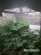 Noribachi Launches Full Spectrum LED Grow Lights Developed At Its Northern California Growlab