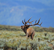 Proceeds from the Boy Scouts' 50th elk antler auction, which sells naturally shed antlers collected locally, benefit habitat enhancement projects on the National Elk Refuge (photo ©Sidney Cromer).