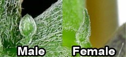 A comparison of the early growth of a male cannabis flower and a female cannabis flower