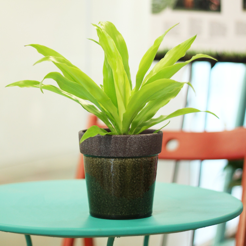 Repotting dracaena plant  The Home Depot Community