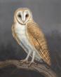 Mari Kloeppel, Barn Owl in Manzanita