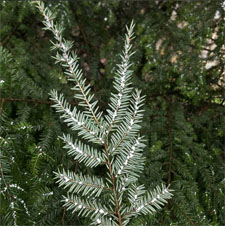 Woolly Adelgid is the leading cause of death for Hemlocks.  Treatment is available to control this pest.