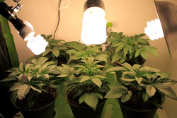 These six pot plants were grown in a spare closet under cheap and common CFL grow lights