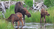 A moose with calves is one example of the variety of wildlife with babies that Wildlife Expeditions' expert guides may spot on June trips deep into Yellowstone National Park.