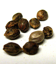 A pile of cannabis seeds. Seeds of different strains can be used to grow different varieties of cannabis plants.