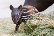 Denver Zoo welcomes welcomes third-ever endangered Malayan tapir birth