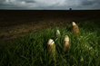 "Photograph by Michael St Maur Sheil.  An ""iron harvest"" of unexploded artillery projectiles found in a farm field on the Somme near the Munich Trench."