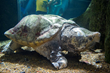 140lb Male Alligator Snapping Turtle at the Tennessee Aquarium. Credit: Casey Phillips / Tennessee Aquarium