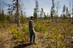 Warmer, drier climate threatens Minnesota's iconic white pine, white cedar and other long-lived conifers. © John Gregor