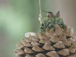 Helen Hummingbird #humcam #missioncitytv