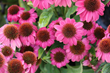 Coneflower, also called Echinacea, is a favorite of butterflies and a native of North America.
