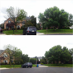 Two Ash trees next door to each other. The healthy Ash tree has been protected from Emerald Ash Borer since 2015 .  The neighbor's Ash was not treated and is dead. It must be removed for safety.