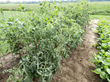 Tomato plants damaged by off-target movement of dicamba from a nearby soybean field. Photo courtesy of Kevin Bradley, University of Missouri.