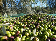 New Olive Harvesting Experience from Luxo Italia