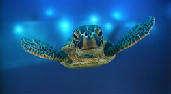 Ahh Aloha Kauai Vacation Rentals Sea Turtle