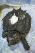 An alligator snapping turtle with radio tracking device attached to its shell