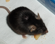 Link Between Smelling Food and Weight Gain in Mice Points towards the Lesser Known Aspects of the Obesity Equation, say Dr. Feiz & Associates