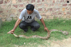 Wildlife SOS crew member handles an 8-foot rock python.