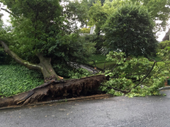 Tree uprooted in summer storm.  Giroud Tree and Lawn recommends tree pruning to thin crown and allow air to move easily through the tree.