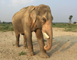 Mohan the elephant near the Wildlife SOS Elephant Conservation and Care Center in Mathura, India.