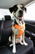 Clickit Terrain accommodates dogs 18 to 90 lbs.