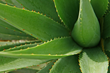 5 Reasons to Get an Aloe Vera Plant