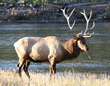 Wildlife Expeditions Fall U.S. Safaris Begin September 7 with Up-close Elk Bugling, Wolves and Bears in Yellowstone National Park