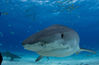 Guy Harvey Research Institute Tagged Tiger Shark Breaks Distance Record – And Is Still Going!