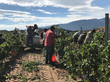 At the Tamaya Vineyard workers hand-select the finest New Mexico fruit for Gruet Winery,including the state's first Pinot Meunier.