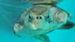 "Four Seasons Resort Maldives at Landaa Giraavaru Bids Goodbye to Elsa, the Historic 5th ""Flying Turtle"""
